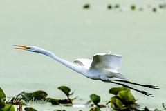Great Egret (mayekarulhas) Tags:
