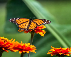 Z Landing (Portraying Life, LLC) Tags: dbg6 da3004 hd14tc k1mkii michigan pentax ricoh unitedstates butterfly closecrop handheld nativelighting hiddenlakegardens flower zinnia