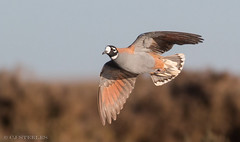 Flock Bronzewing (chrissteeles) Tags: flockbronzewing bronzewing birdsvilletrack outback southaustralia sa birding bird