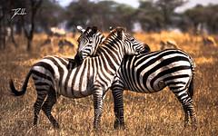 I have Your Back (donte.hunter85) Tags: tanzania safari africa nature adventure lumixg9 lumix panasonic