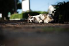 猫 (fumi*23) Tags: ilce7rm3 sony 85mm fe85mmf18 sel85f18 a7r3 emount cat chat katze gato animal neko bokeh dof ねこ 猫 ソニー