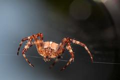 Tightrope Dancer - _TNY_0555 (Calle Söderberg) Tags: macro canon canon5dmkii canoneos5dmarkii 5d2 canonef100mmf28usmmacro raynox dcr250 flash meike mk300 glassdiffusor spider spindel araneus diadematus diademspider crownedorbweaver orbweaver crossorbweaver europeangardenspider korsspindel spiderweb web spindelnät thread brown reddish portrait face bokeh bokehballs bristles hjulspindel f22 araneae arachnida