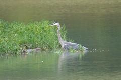 Great Blue Heron (jdf_92) Tags: indiana yellowwoodstateforest bird heron greatblueheron ardeaherodias