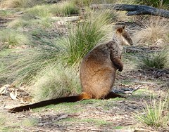 Brush-Tailed Rock Wallaby (RJNumbat) Tags: rock wallaby brush tailed