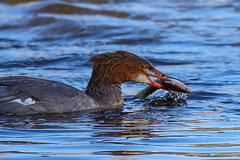 Common Merganser With Fish (jimmy.stewart40) Tags: wildlife duck commonmerganser fish swimming breakfast river water blue nature