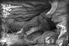 River Otter I (Alexander Day) Tags: river otter washington dc national zoo blackandwhite monochrome vignette mammal mammals animal animals fauna alex alexander day