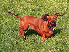 Big horned sheep? (classymis) Tags: classymis chessie ears funny bighornedsheep dachshund dog doxie silly 2011 animal