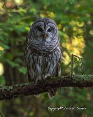 Barred Owl (Luis Ocasio) Tags: ngc barredowl owl