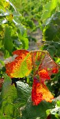 ESPOLLA - FULLA D'UN CEP (Joan Biarnés) Tags: espolla altempordà empordà girona catalunya cep raïms uvas 270 panasonicfz1000