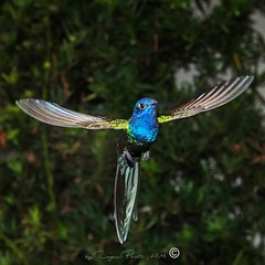 _RSP3380 (Roger Hummingbirds) Tags: animal nature bird birds colibri wildlife hummingbird wings flight feeder flower nectar south america rain forest color colorful colour fly flying spread blue green delicate flora floral beauty inflight ornithology wild brazil beijaflor tesourinha kolibrie feathers outdoor verde azul natureza do sul vôo voando delicado flores
