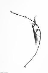 Homicida triumphalis (Missy Karine) Tags: ngc white fineart macro macrophotography wild wildlife nature mantis mantereligieuse picoftheday expositionnaturelle canon canon100mm