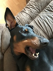 Male Dobermann Pinscher Saxon (firehouse.ie) Tags: canine k9 animals dogs male animal dog pinscher pinschers dobermans doberman dobermanns dobermann dobeys dobey dobies dobie dobes dobe