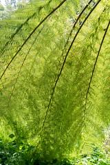 fern tree (queue_queue) Tags: botanicalgarden fern