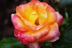 DSC_0955 (PeaTJay) Tags: nikond750 sigma reading lowerearley berkshire macro micro closeups gardens outdoors nature flora fauna plants flowers rose roses rosebuds
