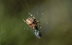 Diadem spider with blowfly (PChamaeleoMH) Tags: bluebottle diademspider fly frontgarden insects macro spiders webs
