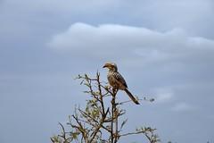 Sudafrica - Kruger National Park -Tockus leucomelas (PierBia) Tags: sudafrica kruger national park tockus leucomelasnikon d810