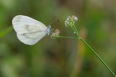 Leptidea sinapis (keynowski) Tags: leptideasinapis narinormanbeyazı nature ngc butterfly animalplanet animal wild wildlife macro m43 m43turkiye em1 olympusomdem1 olmypus60mmmf28macro olympusmzuikodigitaled60mmf28macro