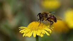 Bee (bij) (moniquedoon) Tags: macroaddicts nature yellow summer bees bijen