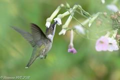Time to fatten up (SF knitter) Tags: chicagobotanicgarden cookcounty cookcountyforestpreserves englishoakmeadow floweringtobacco illinois rubythroatedhummingbird bird flower garden hummingbird preserves