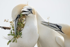 Northern Gannets (Daniel Trim) Tags: northern gannet morus bassanus saltee great island bird nature sea colony photography ireland with nesting material courting