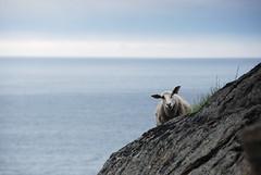 Baaaa! (DoctorMP) Tags: lofoten norway nordland vestvagoya unstad summer hiking outdoors mountains sea atlantic ocean sheep