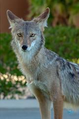 0828 DSC01705x (JRmanNn) Tags: coyote lakelasvegas