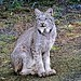 Female Lynx - Alaska