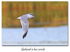 Goéland à bec cerclé / Ring-Billed Gull  153A1028 (salmo52) Tags: oiaeaux birds salmo52 alaincharette victoriaville laridés goélandàbeccerclé
