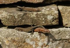Common Lizard Trio. (farrertracy) Tags: viviparouslizard reptile stonewall rocks summer sunshine