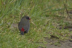 Beautiful Firetail (Peter Vaughan 2) Tags: bird grass rain raindrop beautiful firetail finch animal passeriformes nature wilderness birdphotography wildlifephotography naturephotography red nikon d5100 sigma 150500mm feathers avian aves tasmania australia