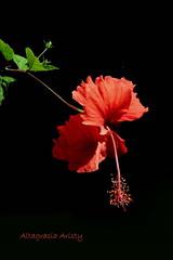 A pleno sol/At full sun (Altagracia Aristy Sánchez) Tags: hibisco hibiscus cayena laromana quisqueya repúblicadominicana dominicanrepúblic caribe caribbean caraibbi antillas antilles trópico tropic américa fujifilmfinepixhs10 fujifinepixhs10 fujihs10 altagraciaaristy fondonegro sfondonero blackbackground