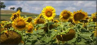3004-  The Happy Sunflower