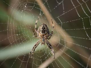 Spider at Home | Spinne zuhause