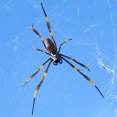 Nephila plumipes (Oriolus84) Tags: spider brisbane australia queensland romastreetparklands humpedgoldenorbweavingspider goldenorbweaver goldenorbweavingspider nephilaplumipes nephila araneidae arachnid arachnida arthropod