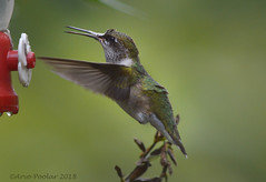 September Hummer (Arvo Poolar) Tags: outdoors ontario canada arvopoolar rubythroatedhummingbird inflight wings nature naturallight natural naturephotography nikond3200 bird