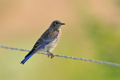 Western Bluebird (j) (4637) (Bob Walker (NM)) Tags: bird bluebird perching westernbluebird sialiamexicana webl fencewire juvenile losalamos newmexico usa
