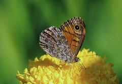P1690893-Mauerfuchs-1 (Bine&Minka2007) Tags: schmetterlinge butterfly natur nature nahaufnahme makro macro insekten insekt insects