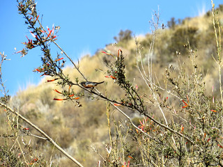 Black-throated Flowerpiercer (Diglossa brunneiventris)