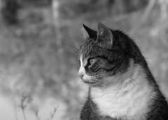 Riverside cat (Zèè) Tags: spats chat cat closeup black bw white blanc noir noirblanc nature river monochrome