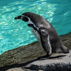 Kraków, ZOO... Humboldt penguin (marek&anna) Tags: krakow zoo penguin humboldtpenguin
