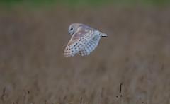 Barn Owl 10-09-2018-7031 (seandarcy2) Tags: handheld bif barnowl owls raptors birdsofprey fenland wildlife birds norfolk uk