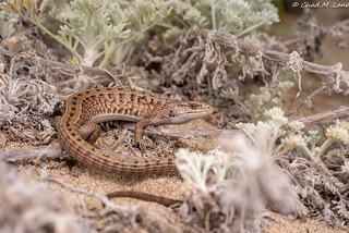 San Francisco Alligator Lizard (Elgaria coerulea coerulea)