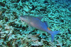 blue hunter (BarryFackler) Tags: fish life fauna being organism sealife ocean tropical underwater scuba wildlife island polynesia hawaii ecology marinelife kona pacificocean barryfackler aquatic sealifecamera outdoor seacreature vertebrate goatfish parupeneuscyclostomus bluegoatfish moanoukaliulua yellowsaddlegoatfish pcyclostomus coralrubble pacific diving nature sea westhawaii saltwater zoology bigisland hawaiiisland dive reef keauhoubay marine ecosystem undersea sandwichislands animal coral konacoast hawaiicounty northkona marinebiology diver water seawater hawaiianislands bigislanddiving marineecology kailuakona bay coralreef biology marineecosystem barronfackler konadiving hawaiidiving creature barbels