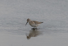 Curlew Sandpiper Titchwell RSPB 14-09-2018-3494 (seandarcy2) Tags: birds wild wildlife waders sandpiper curlew curlewsandpiper norfolk uk freshmarsh