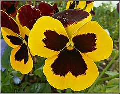 Floral Face Resemblance .... (** Janets Photos **) Tags: uk floral flora flowers pansies facelikeresemblance compositions