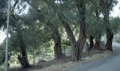 Εκατοχρονίτικες ελιές στους Λάκωνες της Κέρκυρας  ( περιοχή κοντά στην Παλαιοκαστρίτσα). (Giannis Giannakitsas) Tags: greece grece griechenland κερκυρα corfu λακωνεσ ελια canon eos 650 slr 35 mm film camera