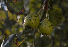 just a little longer (elkema) Tags: fruit tree nature