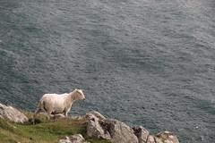 Precariously Balanced - IMG_7831 (406highlander) Tags: neistpoint neist skye scotland sheep rocks cliff top sea animal mammal ovine ruminant ungulate ovisaries livestock grazing canoneos1300d canonefs1785mmf456isusm water coast coastline coastal