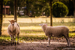 Moutons (Quentin Douchet) Tags: faune mouton nature animal fauna