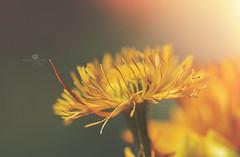 precocity (rockinmonique) Tags: stalbertbotanicgarden flower bloom blossom petal yellow gold green macro bokeh light moniquewphotography canon canont6s tamron tamron90mm copyright2018moniquewphotography